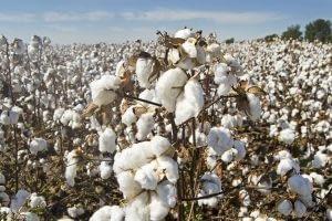 travail forcé culture coton ouïghours en Chine opacité de la supply-chain & risques sanctions juridiques et financieres conformité compliance fcpa loi sapin2